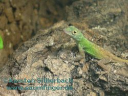 Anolis distichus_ignigularis 1.0