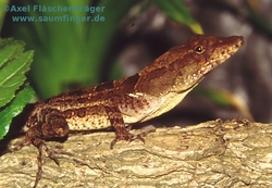 Anolis lineatopus lineatopus 1.0