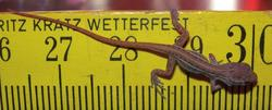 Anolis ophiolepis
